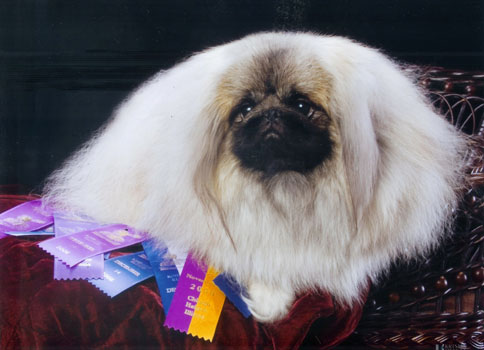 Windemere Pekingese - Our Colored Legacy