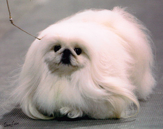 Show Me Pictures Of Pekingese Dogs